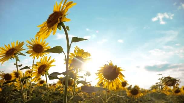 krásné Slunečnice Helianthus pole žluté životní styl květin na pozadí modré oblohy krajiny. zpomalené video. spoustu slunečnice - velké oblasti zemědělství. sběr biomasy oleje