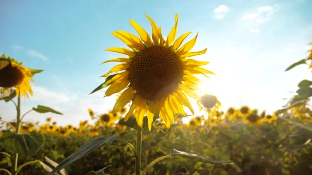 krásné Slunečnice Helianthus pole žlutých květin na pozadí modré oblohy krajiny. zpomalené video životní styl. spoustu slunečnice - velké oblasti zemědělství. sběr biomasy oleje