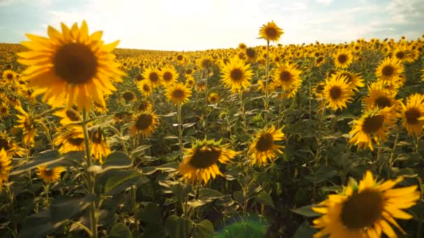 Sunset over the field of sunflowers against a cloudy sky. Beautiful summer landscape agriculture. slow lifestyle motion video. field of blooming sunflowers on a background sunset. harvesting