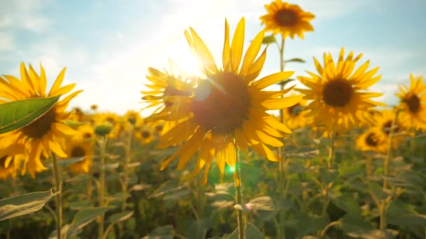 Sunset over the field of sunflowers against a cloudy sky. harvesting agriculture sunflowers field concept nature. Beautiful summer lifestyle landscape agriculture. slow motion video. field of blooming