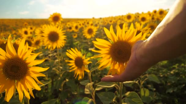 man farmer examines sunflower crop in field cloudy sky lifestyle first-person view. harvesting agriculture sunflowers field concept nature. Beautiful summer landscape agriculture. slow motion video