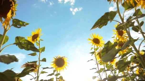krásné Slunečnice Helianthus pole žlutých květin na pozadí modré oblohy krajiny. zpomalené video. spoustu slunečnice - velké oblasti zemědělství. kolekce lifestyle biomasy oleje