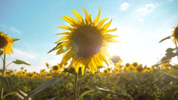 krásné Slunečnice Helianthus pole žlutých květin na pozadí modré oblohy krajiny. zpomalené video. spousty životního stylu slunečnice - velké oblasti zemědělství. sběr biomasy oleje