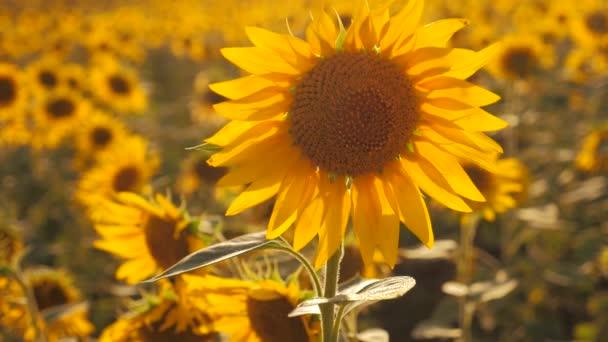 Západ slunce nad polem slunečnice proti zatažené obloze. Krásné letní krajina zemědělství. zpomalené video. pole kvetoucí slunečnice na životní styl v pozadí západu slunce. sklizeň