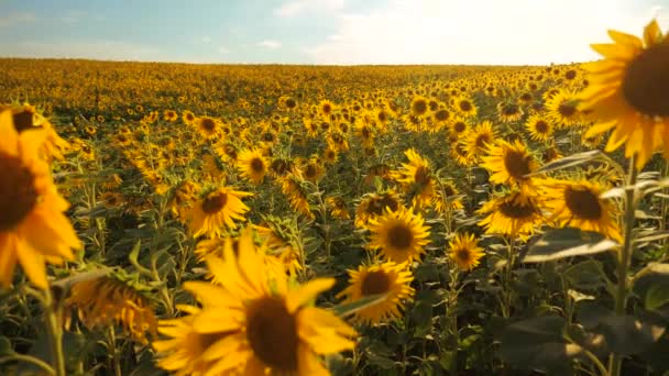 Sunset over the field of sunflowers against a cloudy sky. Beautiful summer landscape agriculture. slow motion video lifestyle. field of blooming sunflowers on a background sunset. harvesting