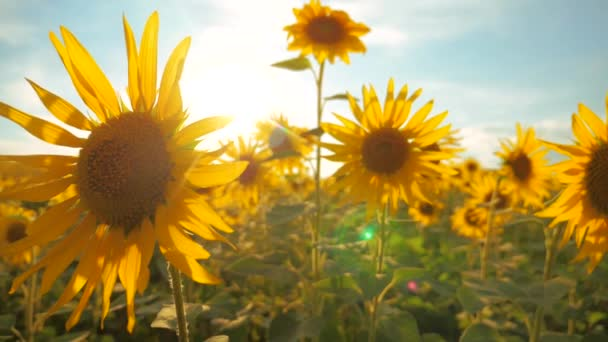 Sunset over the field of sunflowers against a cloudy sky. harvesting agriculture sunflowers field concept nature. Beautiful summer landscape agriculture. slow motion video. lifestyle field of blooming
