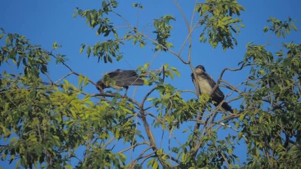 nyáj madarak hollók nyáron ül a fán. a nyáj varjak. A Fekete madár. A zöld fa. a madarak az ég Silhouette életmód varjak. varjak madarak fa koncepciója
