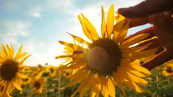 man farmer examines sunflower crop in field cloudy sky first-person view. harvesting agriculture sunflowers field concept nature. Beautiful summer landscape agriculture. slow motion video. lifestyle