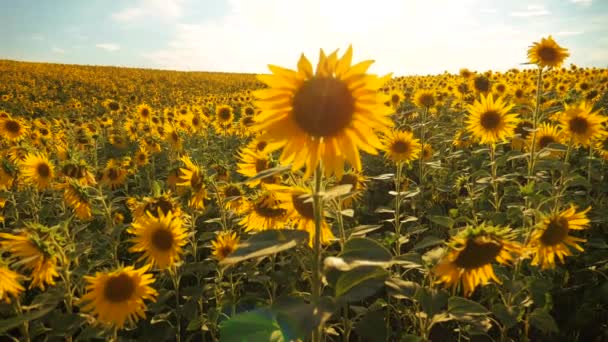 Sunset over the field of sunflowers against a cloudy sky. Beautiful summer landscape agriculture. slow motion video. field lifestyle of blooming sunflowers on a background sunset. harvesting