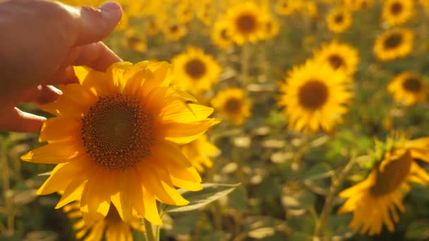 člověk zemědělec zkoumá slunečnice plodin v poli zamračená obloha first-person pohledu. sklízení zemědělství slunečnice pole pojetí přírody. Krásné letní krajina zemědělství. zpomalené video. muž