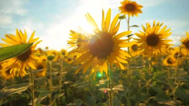 Sunset over the field of sunflowers against a cloudy sky. harvesting agriculture sunflowers field concept nature. Beautiful summer landscape agriculture lifestyle. slow motion video. field of blooming