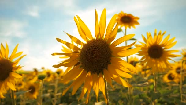 Sunset over the field of sunflowers against a cloudy sky. harvesting agriculture sunflowers field concept nature lifestyle. Beautiful summer landscape agriculture. slow motion video. field of blooming