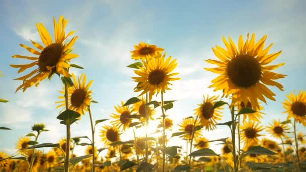 Sunset over the field of sunflowers against a cloudy sky. harvesting lifestyle agriculture sunflowers field concept nature. Beautiful summer landscape agriculture. slow motion video. field of blooming