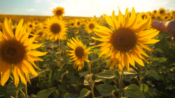 man farmer examines sunflower crop in field cloudy sky first-person view. harvesting agriculture sunflowers field concept nature. lifestyle Beautiful summer landscape agriculture. slow motion video