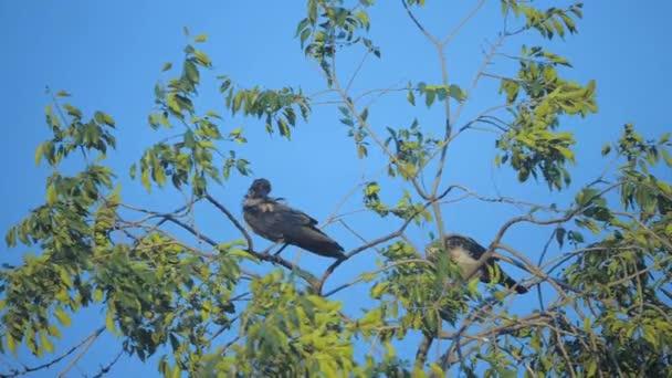 hejno ptáků havrani v létě sedí na stromě. hejno vran. Černý pták. Zelený strom. ptáci Vrány v životním stylu sky silueta. vrány ptáci na stromě konceptu