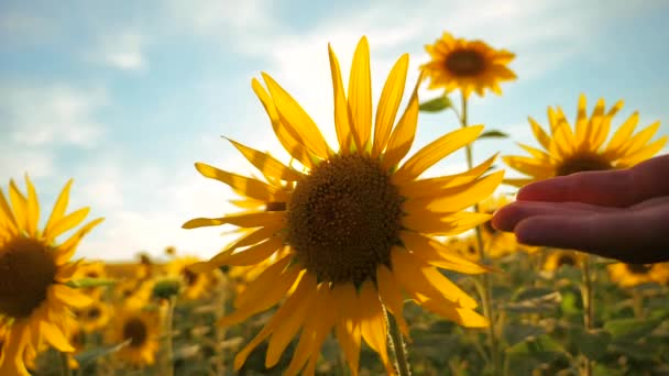 man farmer examines sunflower crop in field cloudy sky first-person view. harvesting agriculture sunflowers field concept nature. Beautiful summer landscape agriculture. slow motion video lifestyle