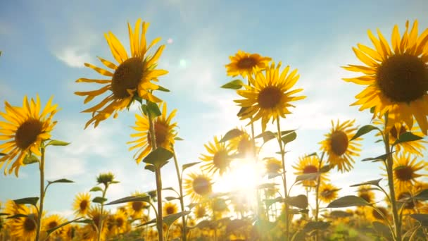 Sunset over the field of sunflowers against a cloudy sky. lifestyle harvesting agriculture sunflowers field concept nature. Beautiful summer landscape agriculture. slow motion video. field of blooming