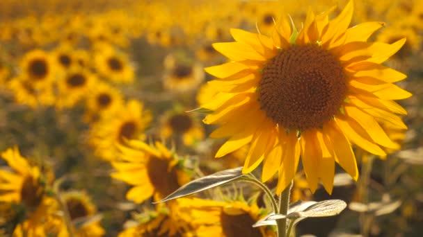 Západ slunce nad polem slunečnice proti zatažené obloze. Krásné letní krajina zemědělství. zpomalené video. pole kvetoucí slunečnice na sunset pozadí životního stylu. sklizeň