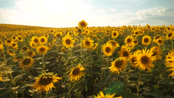 Sunset over the field of sunflowers against a cloudy sky. Beautiful summer landscape agriculture. slow motion video. field of blooming lifestyle sunflowers on a background sunset. harvesting