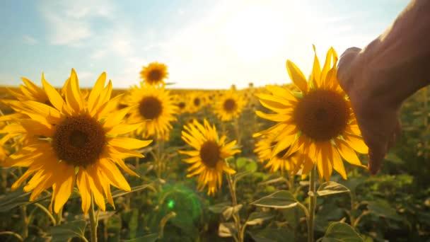 člověk zemědělec zkoumá slunečnice plodin v poli zamračená obloha first-person pohled do životního stylu. sklízení zemědělství slunečnice pole pojetí přírody. Krásné letní krajina zemědělství. zpomalené video