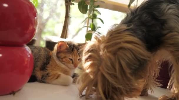 pes čichání kočka sedí na okna slunci domácí zpomalené video. pes a kočka domácí zábavný koncept