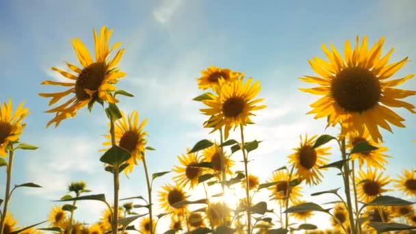 Západ slunce nad polem slunečnice proti zatažené obloze. sklízení zemědělství slunečnice pole koncepce životního stylu přírody. Krásné letní krajina zemědělství. zpomalené video. pole rozkvetlých