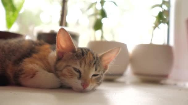 three-colored kitten sleeps on the window in the morning sunlight. the cat sleeps on the windows at the window the morning the sun beats lifestyle shining. cat on the window concept