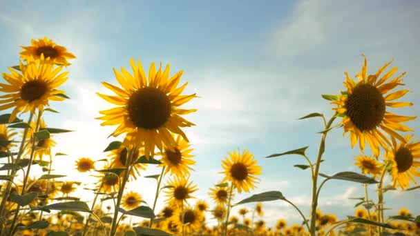 Sunset over the field of sunflowers against a cloudy sky. harvesting agriculture sunflowers lifestyle field concept nature. Beautiful summer landscape agriculture. slow motion video. field of blooming