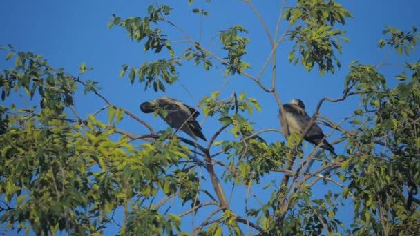 hejno ptáků havrani v létě sedí na stromě. hejno vran. Černý pták. Zelený strom. životní styl vrány ptáků na obloze siluety. vrány ptáci na stromě konceptu