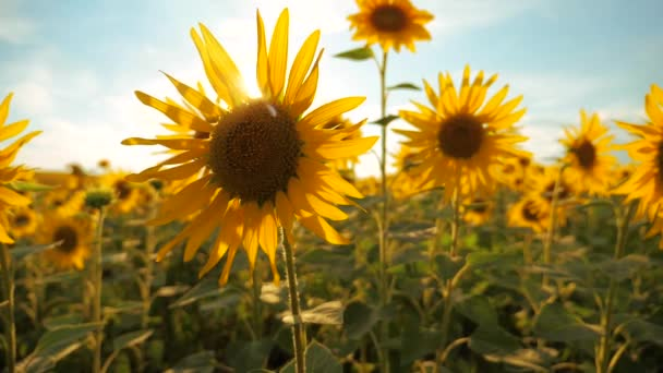 Sunset over the field of sunflowers against a cloudy sky. harvesting agriculture sunflowers field concept nature. lifestyle Beautiful summer landscape agriculture. slow motion video. field of blooming
