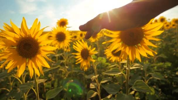 člověk zemědělec zkoumá slunečnice plodin v poli zamračená obloha first-person pohledu. sklízení životní styl zemědělství slunečnice pole pojetí přírody. Krásné letní krajina zemědělství. zpomalené video