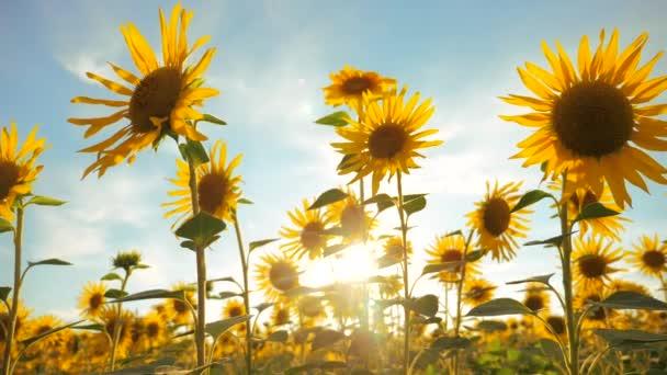 Západ slunce nad polem slunečnice proti životnímu stylu zamračená obloha. sklízení zemědělství slunečnice pole pojetí přírody. Krásné letní krajina zemědělství. zpomalené video. pole rozkvetlých