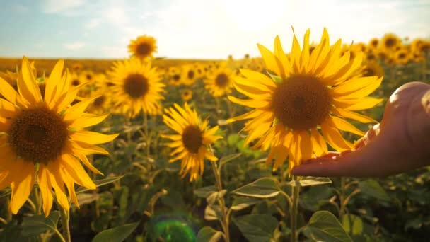 man farmer examines sunflower crop in field cloudy sky first-person view. harvesting agriculture lifestyle sunflowers field concept nature. Beautiful summer landscape agriculture. slow motion video