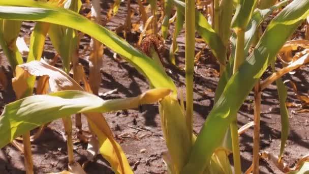 kukuřičné pole v západu slunce. Kukuřičné pole a obloha s krásné mraky. životní styl steadicam. Kukuřičné pole. zemědělství koncepce farmář sklízí