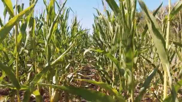 kukuřičné pole v západu slunce. Kukuřičné pole a obloha s krásné mraky. Steadicam. Kukuřičné pole životní styl. zemědělství koncepce farmář sklízí