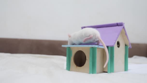 rat coming out climbs on top of wooden house sniffing nose a hole cute video out of the burrow of a house and sniffs food in search of food . cute mouse albino rat pet goes to the house. white rat