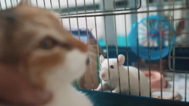 Katze fängt eine weiße Haustier Ratte Maus im Käfig. Slow-Motion-Lifestyle video. die Katze spielt mit der Maus Ratte lustiges Video. Katze und Ratte Maus Tierfreunde Konzept Haustiere