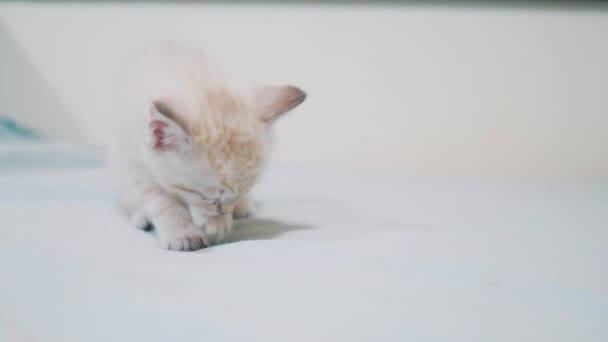 kleine weiße süße Katze leckt Pfote. kleine Kätzchen mit blauen Augen wäscht ein nettes lustiges Video. Kätzchen-Konzept Lebensstil