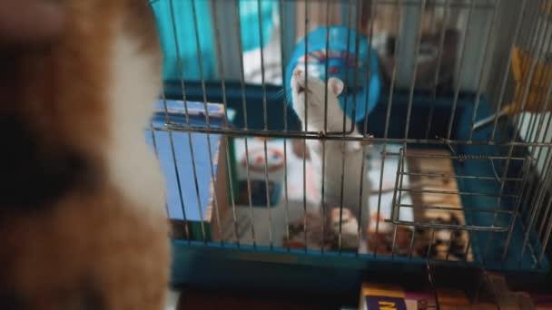 Katze fängt eine weiße Haustier Ratte Maus in einem Käfig. Slow-Motion-video. die Katze spielt mit der Maus Ratte lustiges Video. Katze und Ratte Maus Lebensstil Tierfreunde Konzept Haustiere