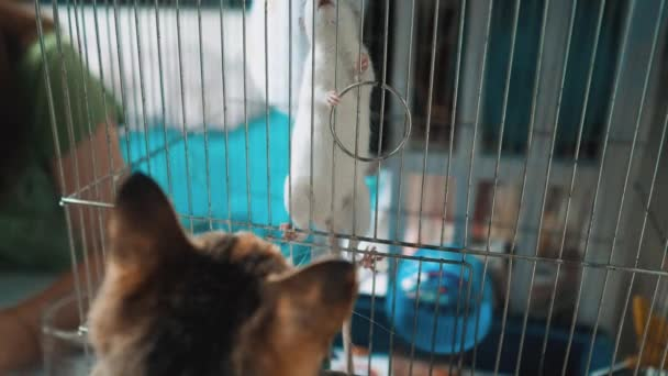 cat catches a white pet rat mouse in a cage. slow motion video. the cat is playing with the mouse rat funny video lifestyle. cat and rat mouse animal friends concept pets