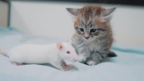 kleine graue Kitten Katze und weiße Ratte einander schnüffeln. lustige seltene video Ratte Maus und kleinen niedlichen Kätzchen Freundschaft Haustiere Konzept lifestyle
