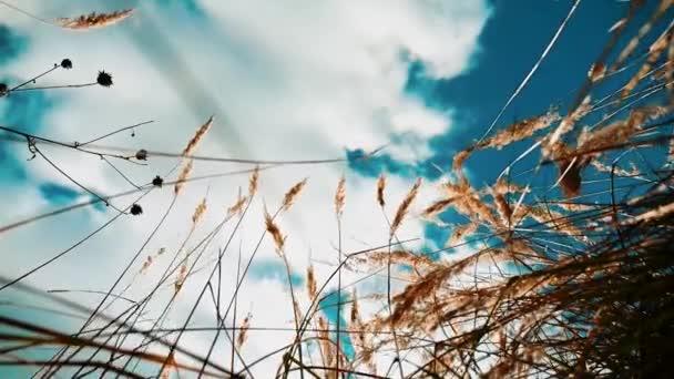 suché trávě proti modré obloze krajina pohybu podzim suchý proti modré obloze větev na pozadí přírody. podzimní Rusko koncept životního stylu krajina příroda