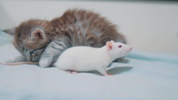 kleine graue Kitten Katze und weiße Ratte einander schnüffeln. lustige seltene video Ratte Maus und kleinen niedlichen Kätzchen Lebensstil Freundschaft Haustiere ein Konzept