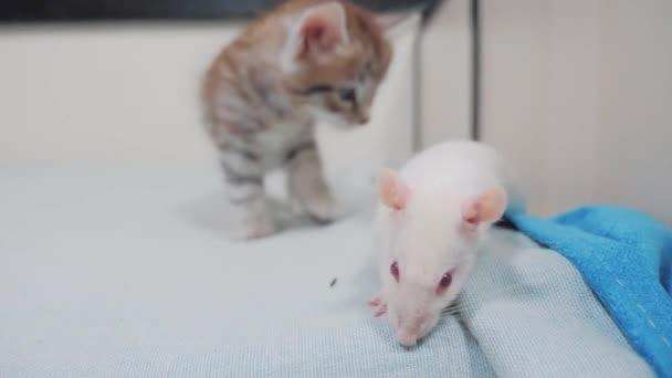 kis fekete csíkos cica játszik egy patkány egér vadászik. vicces ritka videóinak kis cica, és egy patkány futtassa az ágyon. macska-egér koncepció életmód pet