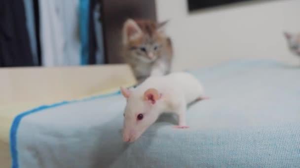 kleine schwarze gestreifte zwei Kätzchen spielen jagt eine Ratte Maus. lustige seltene video kleine Katze und eine Ratte laufen auf dem Bett-Lifestyle. Katz und Maus-Konzept-Haustier