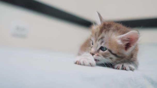 kis cica fekete csíkos aranyos cica nyalogatja mancs. kis cica macska szeme kék mossa egy aranyos vicces videót. PET cica fogalmát életmód