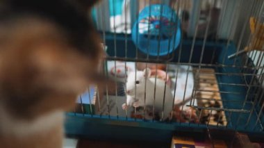 Cat catches a white pet rat mouse in a cage  slow motion