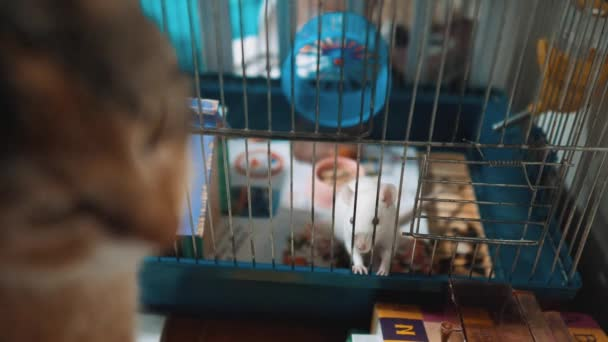 cat catches a white pet rat mouse in a cage. slow motion video. the cat is playing with the mouse rat funny video. cat and lifestyle rat mouse animal friends concept pets