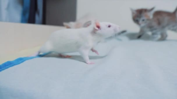 little white kitten playing hunts a rat mouse. funny rare video little kitty and a rat lifestyle run on the bed. cat and mouse concept pet