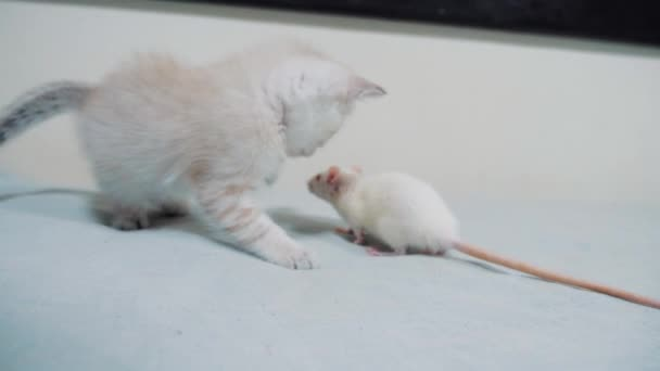 little white kitten playing hunts a rat mouse. funny rare video little kitty and a rat run on the bed. cat and mouse lifestyle concept pet